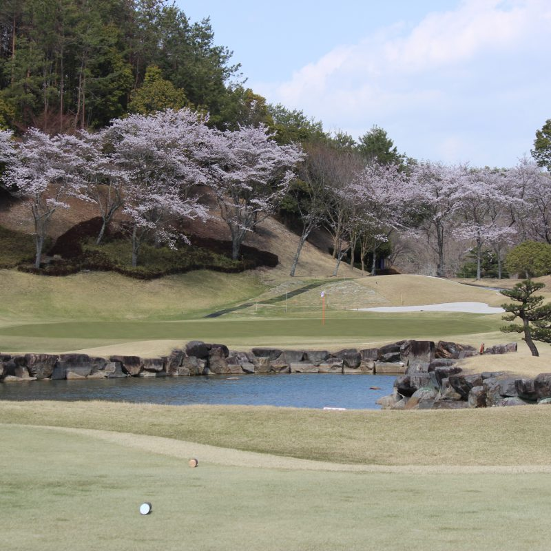 桜が満開です!